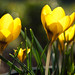 Sunshine crocus by lisagreen2