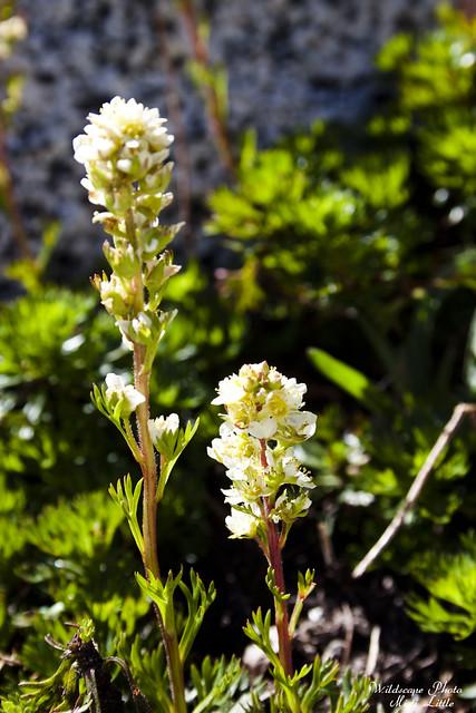 wawildflower2