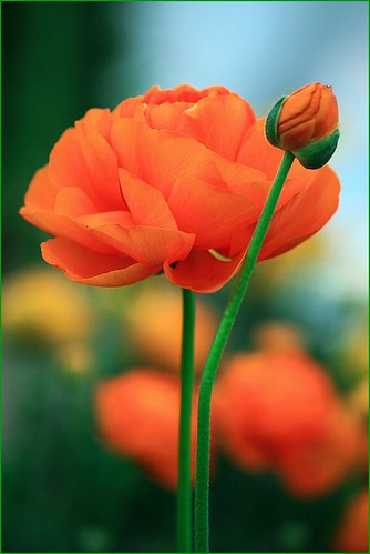 Orange ranunculus by T.takako
