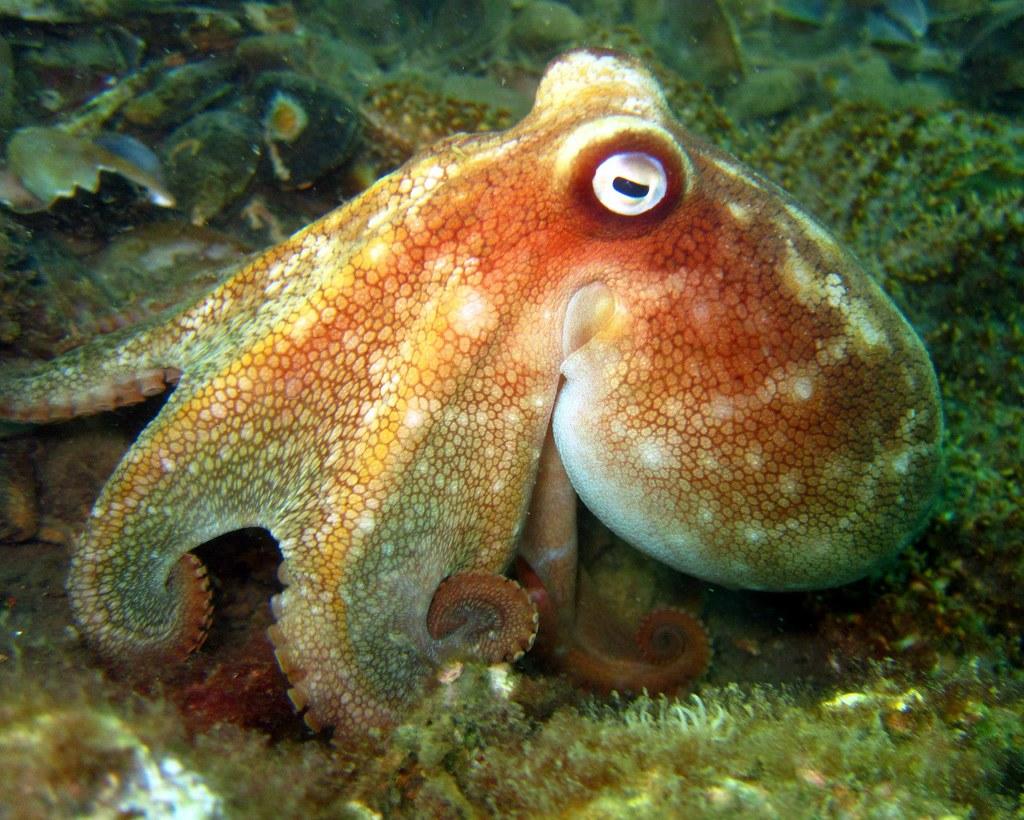 Pale Octopus