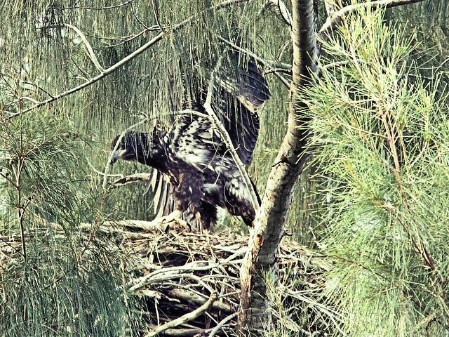 Bald Eaglet 2-20130317