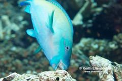 """Herbivores like this parrotfish help clean the reefs of algae. (c) Keith Ellenbogen"""