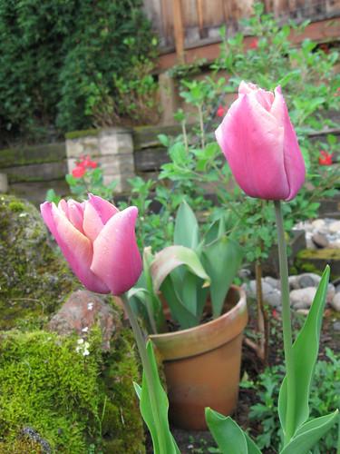 Tulip pink1