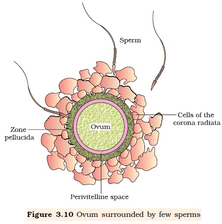 NCERT Class XII Biology Chapter 3 : Human Reproduction