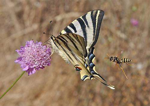 Scarce swallowtail, Scabius flower and Polistine wasp