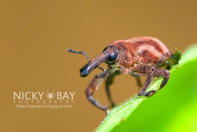 Weevil (Curculionidae) - DSC_7398