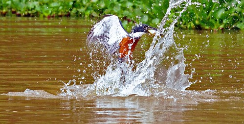 Brazilian Ringed Kingfisher Diving