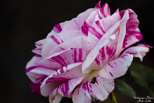 scentsational Rose