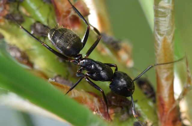 8.8 mm carpenter ant on pitch pine with aphids