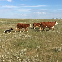Bringing up the rear. #ranchlife #bordercolliesofinstagram #workingcowdogs #Herefords