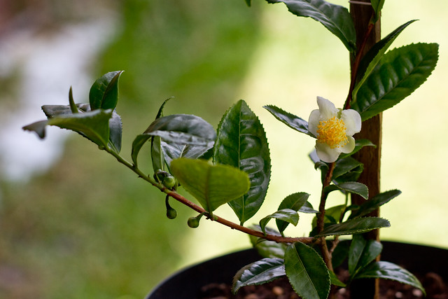 Camellia sinensis by Yuri Hayashi, on Flickr