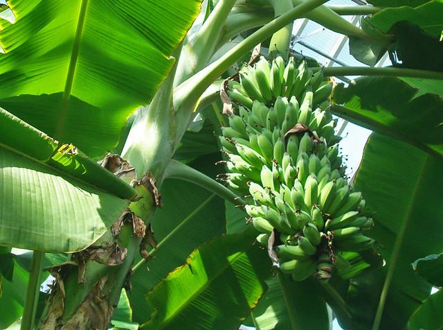 bananas-hanging