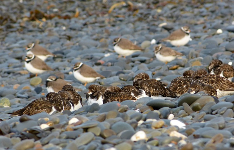29171 - Turnstones and Ringed Plovers, Aberystwyth