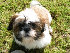 Shihtzu Puppy, James Brennan Molokai Hawaii