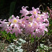 Small photo of Belladonna lilies. Amaryllis belladonna
