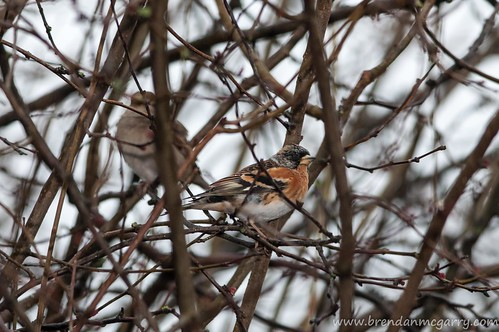 The Brambling, just being a regular bird in a bush.
