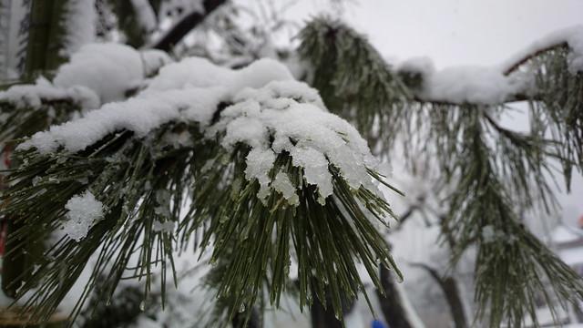 松の木に積もる雪
