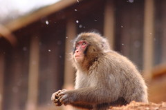 wildlife(0.0), animal(1.0), monkey(1.0), mammal(1.0), fauna(1.0), japanese macaque(1.0), old world monkey(1.0), new world monkey(1.0),
