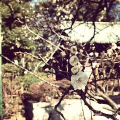 霜柱の上は、梅の花。 2013/02/17 09:11