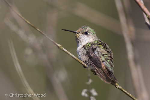 usa bird animal us florida immature vagrant rarity calliopehummingbird stellulacalliope franklincounty 1stwinter stellula trochilinae firstcycle 1stcycle