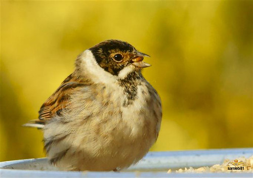 Reed bunting with the drop handle moustache. by sarniebill1