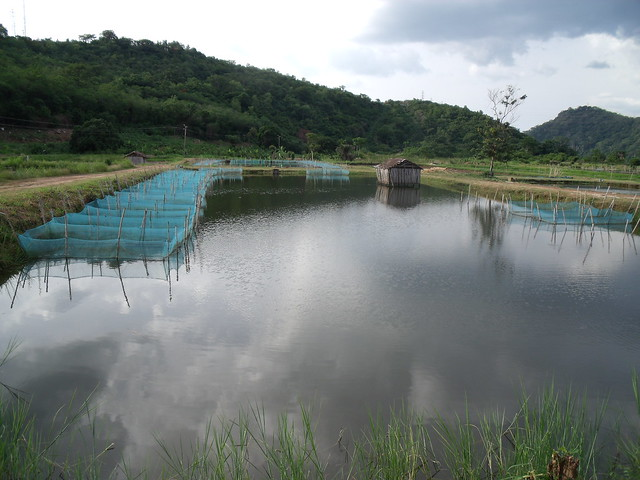 Tilapia breeding pond in ghana photo by curtis lind 2009 for Breeding pond fish