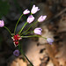 Allium roseum (David Watson)