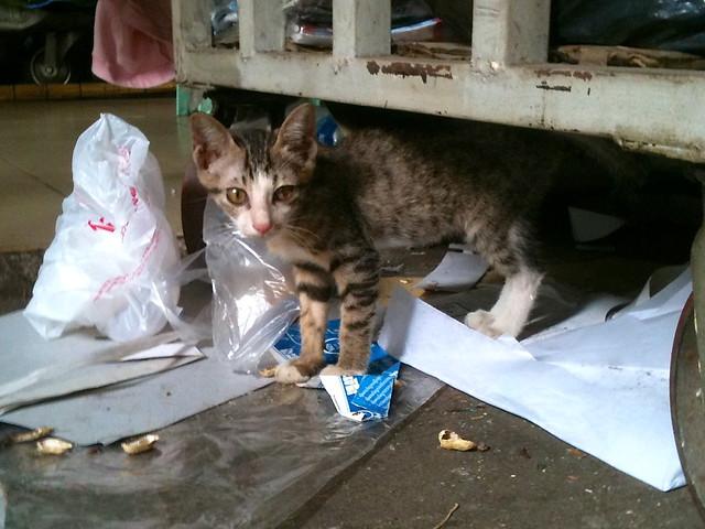 Khmer kitten