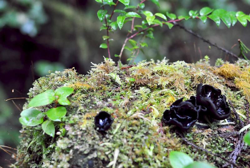 black cup fungi
