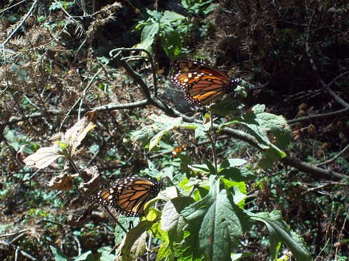 Monarch Butterfly Migration in Michoacan, Mexico