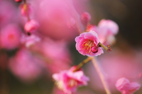 Japanese Ume Blossoms