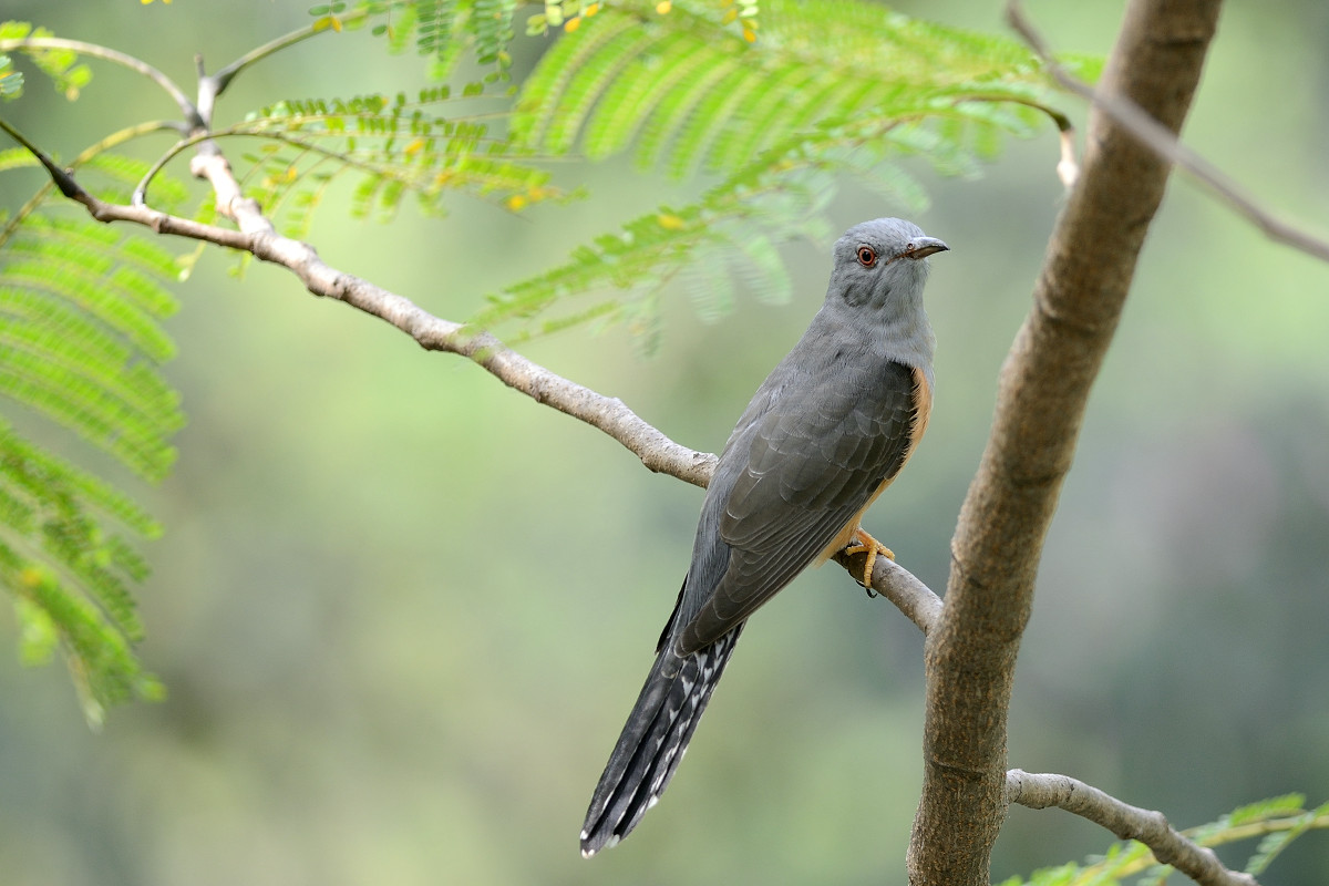 Plaintive_Cuckoo_1765