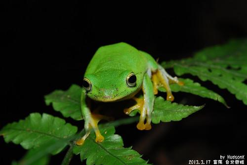 台北樹蛙(8)