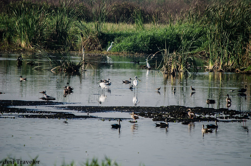 migratory birds in a swamp in ICRISAT in Hyderabad