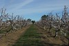 Orchards in Brentwood  Looking between two rows of trees in full bloom. Nicely trimmed, ready for a summer of fruits.