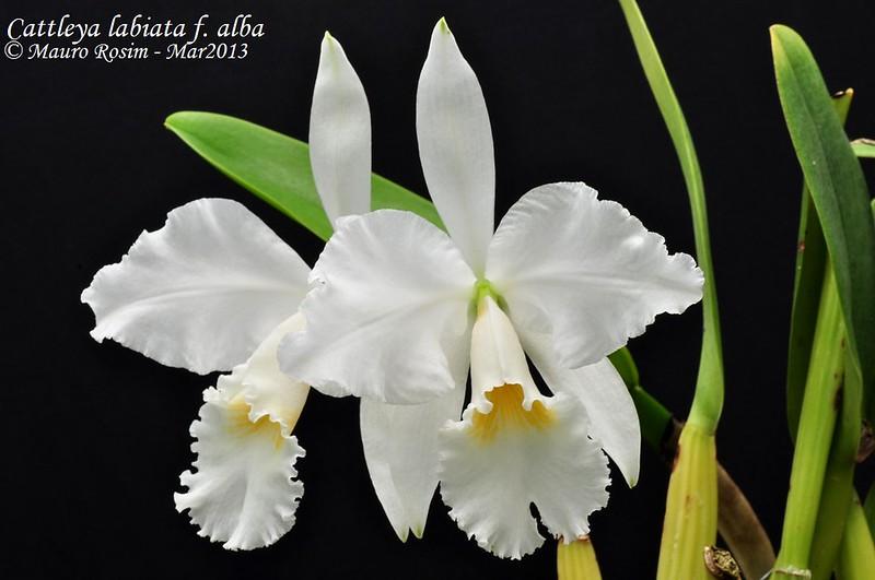 Cattleya labiata f. alba 8574663823_0224434b2b_c