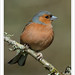 Male Chaffinch with Foot Infection