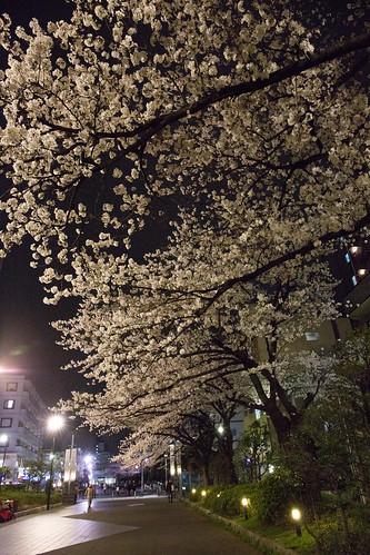 yozakura_03