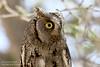 Eurasian Scops Owl by Elsa Naumann
