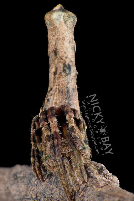Tree Stump Orb Weaver Spider (Heurodes sp.) - DSC_9452