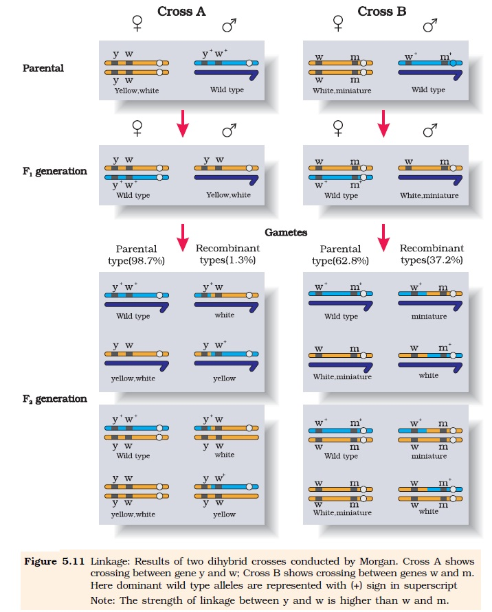 8599156567_11a3b11c50_o  Linkage And Gene Maps on gene physical map, gene map locus, human gene map, gene association map, human chromosome map, a gene map, omim gene map, gene map units, genetics chromosome map, gene concept map, simple gene map, gene map aid, fruit fly gene map, genetic map vs physical map,