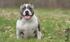 old english bulldog(0.0), dogo argentino(0.0), australian bulldog(0.0), toy bulldog(0.0), american bulldog(0.0), gull terr(0.0), terrier(0.0), dog breed(1.0), animal(1.0), pit bull(1.0), dog(1.0), bull and terrier(1.0), olde english bulldogge(1.0), american staffordshire terrier(1.0), american pit bull terrier(1.0), carnivoran(1.0), bulldog(1.0),