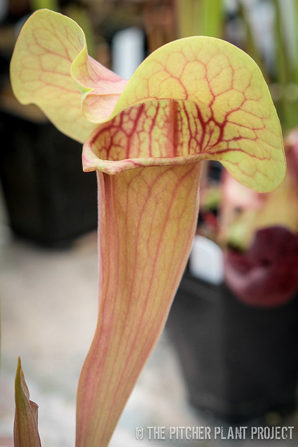 "Sarracenia oreophila ""Purple Mouth"" OP"