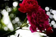 roses are REddd