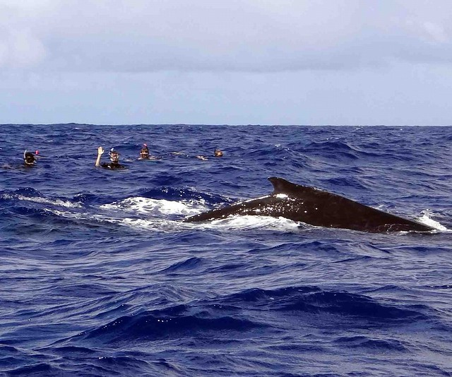 Swimming with Humpbacks2
