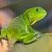 Green Iguana in Paradise by Fabi Fliervoet