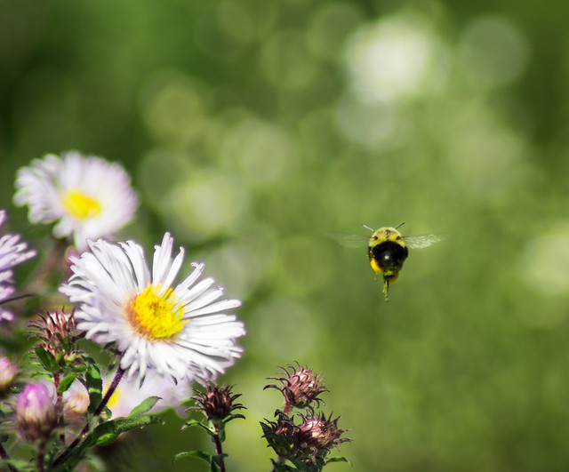 Bumble, Bee, Flowers, Bokeh, Honey Bee, Bumble Bee, Flight