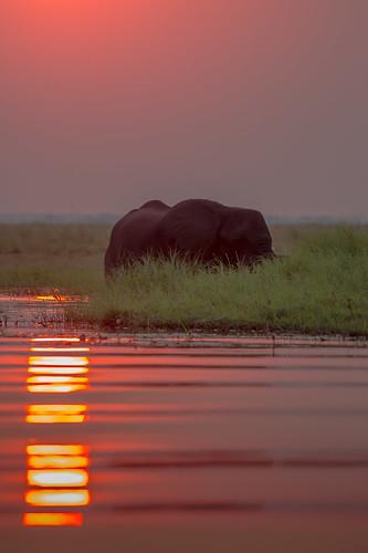 sunset elephant botswana chobenp