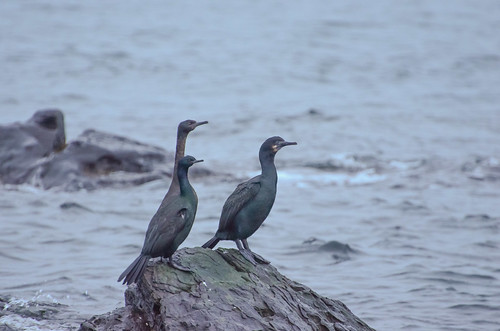 Brandt's and Pelagic Cormorants