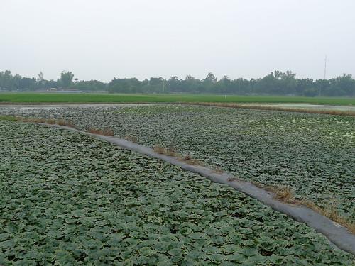 官田省道旁的菱角池塘